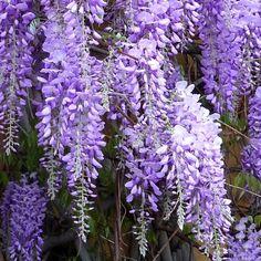 Glycine de Chine - Wisteria sinensis - plante grimpante
