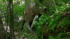 300+ year old White Pine in a Western Mass old growth forest. Ray Asselin, New England Forests.