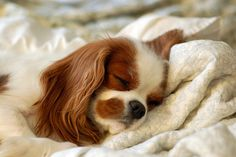 I want Cavalier King Charles Spaniels!! :)