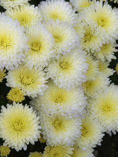 Chrysanthemum Valour