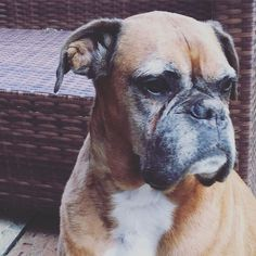 Our Old Girl! Ali the Boxer is 11 years old. She came to live with us 2 years ago after my Mum passed away. Mum & Dad used to breed Boxers and she was one of the litters they breed. She has a very special place in our hearts when Dad was alive his dogs were his world and Ali was just 3 years old when he died. So she lives with us as a very special guest who has Princess status in the Harradine Household!  #boxer #boxer dog #boxersofinstagram #boxerlove #dog #doggy #adopted #adopteddog…