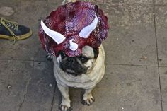 Went Online-Shopping While Drunk... Now I Own A Jurassic-Pug