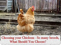 Choosing your Chickens – So many breeds, What Should You Choose?