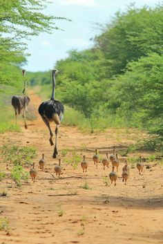 When you are trying to get away from your kids but they are faster runners than any other bird or two-legged animal on earth. #ostriches #babies #socute