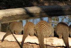 Banded mongoose drinking from our small waterhole