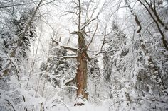 Winter tree in Belovezhskaya Pushcha | Belarus | Eastbook.eu