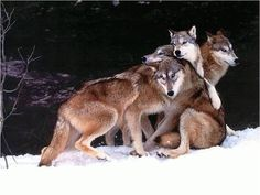 I wouldn't mind being raised by wolves.
