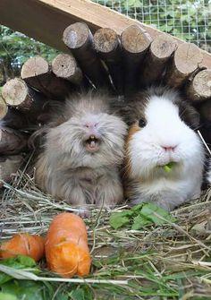 Laughing pig!