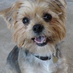 This adorable pup looks SO MUCH like my two 'girls' when they were young!! Mine are yorki-poos and look just like this!