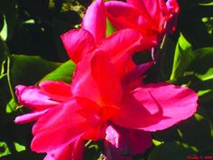 "Canna+Elite+'Pink+Magic'+-+rose+to+hot+pink+flowers+decorate+this+tall+canna;+a+new+one+for+us;+36""-48""+tall;+plant"
