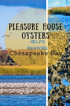 The flavor of Pleasure House Oysters are exquisite, with a silky texture and a sweet, almost floral seaweed flavor that's utterly lacking in metallic mineral tinge. We've had fresh oysters around the world, and these were among the best we've tasted– a testament to the conservation comeback going on in the Lynnhaven River and Chesapeake Bay... Wildlife conservation   USA   Maryland   Virginia - @greenglobaltrvl
