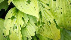 Pocket : Deter Garden Pests Naturally with a DIY Caffeine Spray