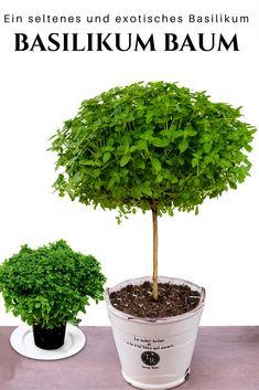 Basilikum Baum