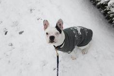 Snow in Berlin with this one blue-eyed dog