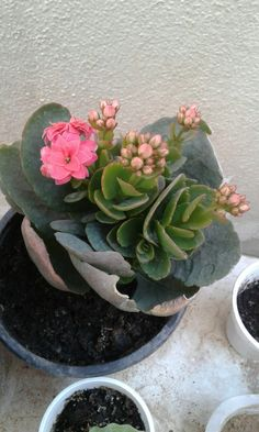 My orange kalanchoe with many buds