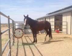 Meet Frodo, a Petfinder adoptable Mustang Horse | Gilbert, AZ | Frodo- 6 year old gelding, Mustang X . He is 14.5 HH and 900 Ibs. He does have eye problem and is...