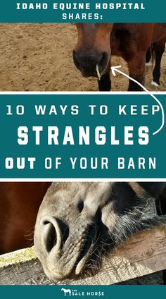 Lessen the risk of bringing Strangles to your herd with 10 simple tips from Idaho Equine Hospital.