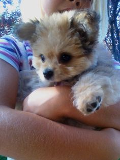 51 Best Morkie S Images Cute Puppies Cute Baby Dogs Dog Cat