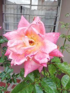 valorando lo sagrado en cada muestra de feminidad. (no todas las vaginas se parecen a una papaya).  #feminidad #flor #mujer #bellezanatural #natural Belleza Natural, Plants, Flower, Aphrodite, Roses, Woman, Colors, Life, Plant