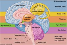 brain structures and sleep - Saferbrowser Yahoo Image Search Results Anatomy Head, Human Body Anatomy, Human Anatomy And Physiology, Brain Stem, Brain Science, Science Notes, Brain Anatomy And Function, Nervous System Anatomy, Brain Pictures