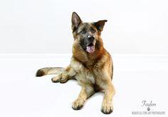 Faylon - German Shepherd by Marius Els Fine Art Photography