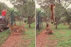 Tigre dá salto impressionante para pegar pedaço de carne   Gavião da Paraíba