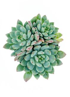 Sedeveria 'Blue Elf' Drought tolerant when established. Forms rambling, clustering plants. Excellent for rock gardens. Porous soil. Protect from frost.