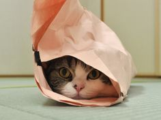 A cat hiding in crumpled up paper. Kittens And Puppies, Cats And Kittens, Tabby Cats, I Love Cats, Cute Cats, Funny Qotes, Baby Animals, Cute Animals, Talking Animals