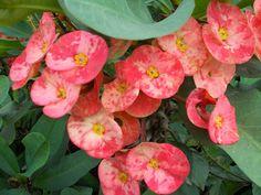 Tanaman Hias Eforbia Untuk Ornamen Taman, bunga eforbia yang cantik http://www.organikilo.co/2013/12/tanaman-hias-eforbia-untuk-ornamen-taman.html