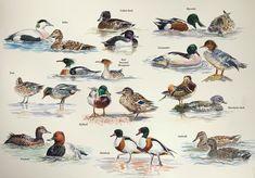 Ducks by Emma Price Bird Paintings, Bird Drawings, Watercolor And Ink, Ducks, Painting & Drawing, Wildlife, Birds, Artist, Animals
