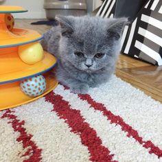 안놀아준다고 시위중  #vscocam #british #britishshorthair #cat #cats #catsofinstagram #catstagram #pet #ilovemycat #instacats #catlover #mari #catoftheday #lovecats #petstagram #petsofinstagram #pets_of_instagram #고양이 #반려묘 #냥스타그램 #캣스타그램 #인스타캣 #고양이라서다행이야 #브리티쉬숏헤어 #마리