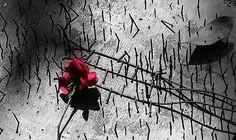 https://flic.kr/p/FbmPyg | confliction | কুসুমের পথ ধরে হেঁটেছিলাম  একদিন  প্রস্ফুটিত এক কিশো্রী - ভরা পুরনিমার ক্যনভাসে শুরু হল এক সময় পেরেক ঠোকা -  হারিয়ে গেলো অতলে  জীবন নামক সোনার তরী .........! love some times the embracing of red rose  many time the engraves the nails over life canvas ,,,!   Copyright :Abdul Malek Babul FBPS . Cell:( +880) 01715298747  &  01837805350          E mail : babul.photopassion@gmail.com   bimboo.babul@yahoo.com www.flickr.com/photos/55321771@N08