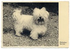Dog white tibetan terrier photo postcard