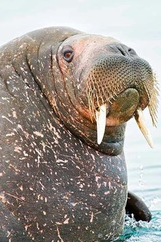 Atlantic Walrus (by ThomasChamberlin)