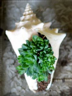 Plant succulents in a shell, love this idea