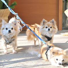 "@dekachiwa's photo: ""謹賀新年!  ナナ、、、なぜなのですが、みんなゆるゆるマイペースで、楽しく過ごす!  #chihuahua #dog #dogoftheday #dogofthedayjp #dogsofinstagram #チワワ #ふわもこ部 #chihuahuadog #chihuahuaofinstagram #animal #しっぽふぁさ部"""