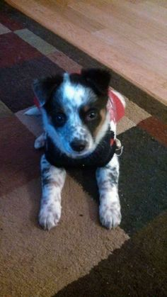 Arnie is a tiny 8 week old Border Collie Blue heeler mix boy searching for his own forever home. This little man was from a litter of 8 rescued from an Amish farm. Arnie is very sweet and learning how to live in a home. We are socializing him...