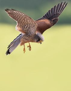 L'Assommoir Kestrel by Jerome Murray