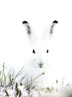 Arctic hare in Greenland