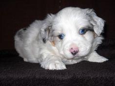 Australian Shepard pup... Eyes so amusing...
