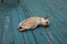 This #frenchie is sleepy!