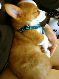 Want this baby corgi!!