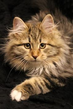 Beautiful Maine coon ...........click here to find out more googydog.com