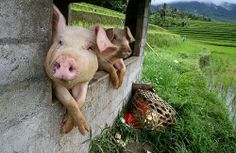Life in Bali, Indonesia. If only all pigs on Bali could look as content as these.