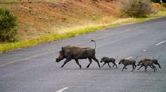 Warthog family crossing the road in Chobe National Park sent in to us by Audley Traveller Caroline from her recent adventure in Botswana and Zimbabwe