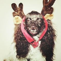 《'sup Santa I can help guide your sleigh》#huxtablethepoodle