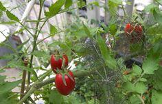 料理ジャンル別、植えれば育つ、簡単&手軽な家庭菜園のススメ!
