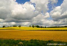 Rapsfeld-am Morgen mit Wolken und blauem Himmel, wildeschoenheiten.wordpress.com