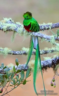 Quetzal _ Quetzals are beautifully colored birds from Guatemala/ intense green color / nature / long tail by Bob Gress