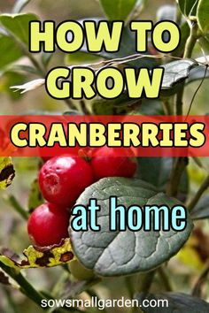 Grow cranberries in your backyard. It's easy and fun. #backyardgardening #cranberry